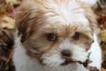 raza-de-perro-lhasa-apso