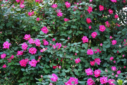 shrubs and roses