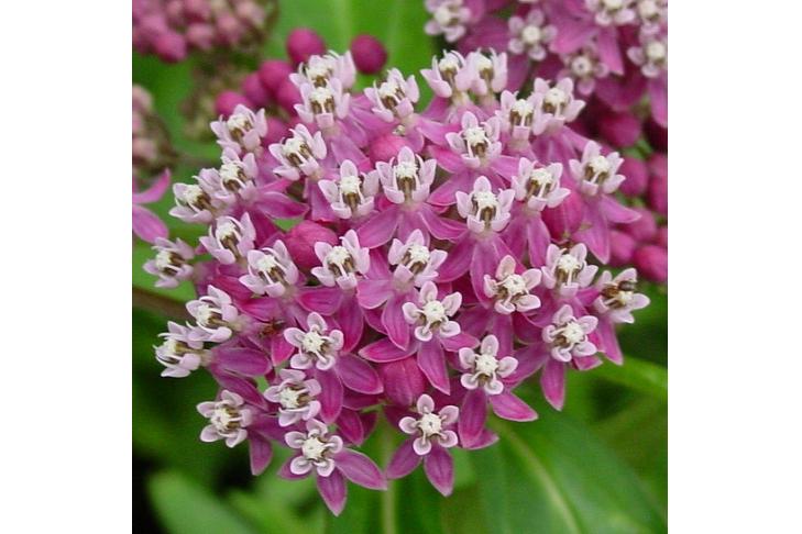 Milkweed Monarch host